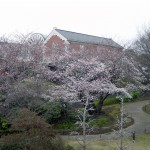 Cherry blossom and Kanagawa Museum of Modern Literature