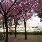 Cherry blossom and Nippon maru