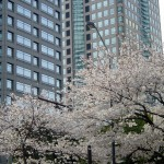 Cherry blossom and buildings