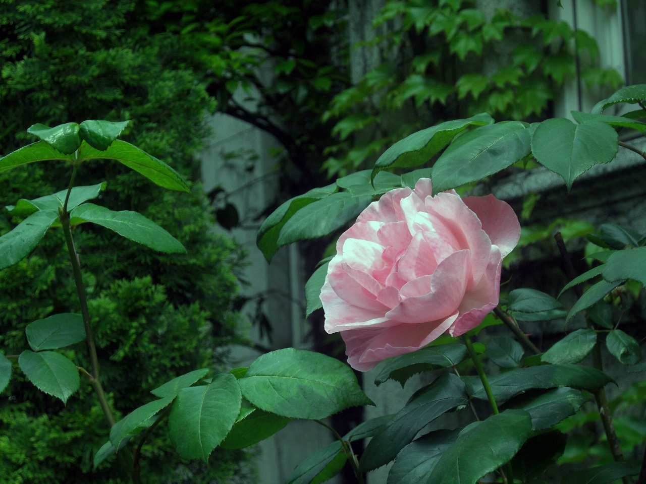 Rose @ Yokohama Archives of History