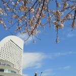 Cherry blossom and InterContinental Hotel Yokohama