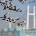 Cherry blossom and Baybridge